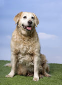 Golden Retriever (12 years old) — Stock Photo