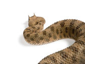 Rear view of Saharan horned viper, Cerastes cerastes, against white background, studio shot — Stock Photo