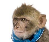 Young Barbary Macaque, Macaca Sylvanus, 1 year old, studio shot — Stock Photo