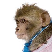 年轻巴巴猕猴,猕猴的侧视图西尔韦纳斯,1 岁, — 图库照片
