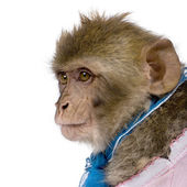 Side view of young Barbary Macaque, Macaca Sylvanus, 1 year old, — Stock Photo