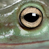 Close-up of Australian Green Tree Frog, Litoria caerulea — Stock Photo
