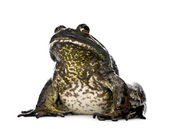 Bullfrog, Rana catesbeiana, against white background, studio shot — Stock Photo