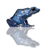 Side view of Blue Poison Dart frog, Dendrobates azureus, against white background, studio shot — Stock Photo