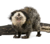 Young White-headed Marmoset, Callithrix geoffroyi, 5 months old, in front of white background, studio shot — Stock Photo