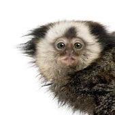 Portrait of young White-headed Marmoset, Callithrix geoffroyi, 5 — Stock Photo