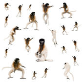 Collage of Young Crowned Sifaka, Propithecus Coronatus — Stock Photo