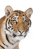 Close-up of Bengal Tiger, Panthera tigris tigris, 1 year old, in — Stock Photo
