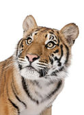 Close-up portrait of Bengal tiger, Panthera tigris tigris, 1 yea — Stock Photo