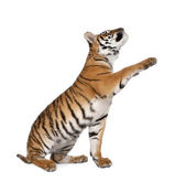 Bengal Tiger, Panthera tigris tigris, 1 year old, reaching in front of white background, studio shot — Stock Photo