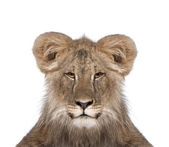 Portrait of immature lion in front of white background, studio s — Stock Photo