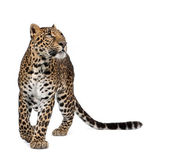 Leopard, Panthera pardus, walking and looking up against white background, studio shot — Stock Photo