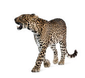 Leopard, Panthera pardus, walking and snarling against white background, studio shot — Стоковое фото