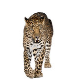 Portrait of leopard walking and snarling, Panthera pardus, against white background, studio shot — Stock Photo