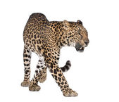 Portrait of leopard, Panthera pardus, walking, studio shot — Stock Photo