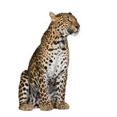 Portrait of leopard, Panthera pardus, sitting against white background, studio shot — Stock Photo