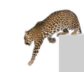 Leopard, Panthera pardus, climbing off pedestal against white background, studio shot — Stock Photo