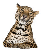 Leopard, Panthera pardus, lying in front of white background — Stock Photo