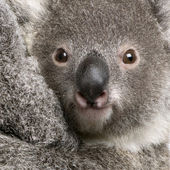 Close-up of Koala bear, Phascolarctos cinereus, 9 months old — Stock Photo