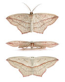 Blood-vein moths, Timandra comae — Stock Photo