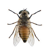 High angle view of pale giant horse fly, Tabanus bovinus, — Stock Photo