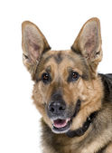 German Shepherd, 9 years old — Stock Photo