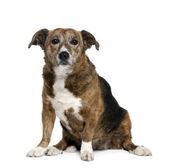 Old bastard dog, 11 years old — Stock Photo