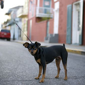 Small dog on leash in middle of road — Stock Photo