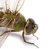 Close-up of old Emperor dragonfly, Anax imperator, on blade of grass — Stock Photo