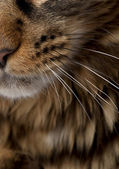 Close-up of Maine Coon's face with whiskers, 7 months old — Stock Photo