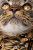 Close-up of Maine Coon's face with whiskers, 7 months old — Стоковое фото