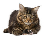 Maine Coon, 7 months old, sitting in front of white background, studio shot — Stok fotoğraf