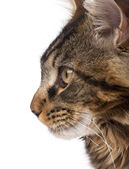 Maine Coon, 7 months old, sitting in front of white background, studio shot — Foto Stock