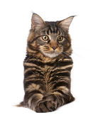 Maine Coon, 7 months old, sitting in front of white background, studio shot — Stock Photo