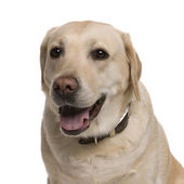 Labrador, 5 years old, in front of white background, studio shot — Stock Photo