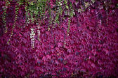 Red ivy in autumn — Stock Photo
