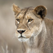Close-up of Lioness in Serengeti, Tanzania, Africa — Stock Photo
