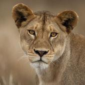 Close-up portrait of Serengeti National Park, Serengeti, Tanzania, Africa — Stock Photo