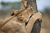 Lioness sharpening teeth on tree, Serengeti National Park, Seren — Stock Photo