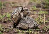 Two turtles mating — Stock Photo