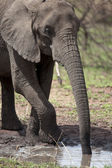 African elephant drinking, Serengeti National Park, Serengeti, Tanzania, Africa — Stock Photo