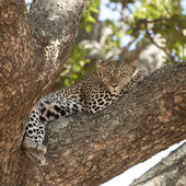 Leopard lying on a tree — Stock Photo