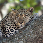 Close-up of a leopard lying in branch of tree — Stock Photo