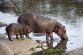 Hipopotam i jej cub, serengeti, tanzania, afryka — Zdjęcie stockowe