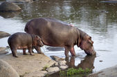 Su aygırı ve yavrusunu, serengeti, tanzanya, afrika — Stok fotoğraf