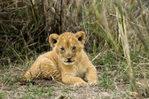 Front view of lion cub, Serengeti National Park, Serengeti, Tanz — Stock Photo