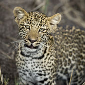 Young leopard in Serengeti, Tanzania, Africa — Stock Photo