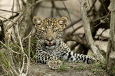 Close-up of a leopard, Serengeti National Park, Serengeti, Tanza — Foto de Stock