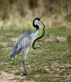 Black-headed Heron, Ardea melanocephala, with snake in beak — Stock Photo