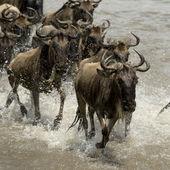Wildebeest, crossing river Mara, Serengeti National Park, Sereng — Stock Photo